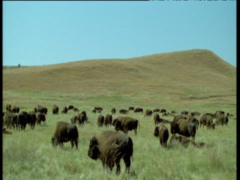 vídeos de stock e filmes b-roll de herd of bison graze on prairie, custer state park, north dakota - parque estatal custer