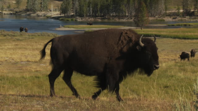 a herd of bison graze yellowstone national park's hayden valley near the yellowstone river. - american bison stock videos & royalty-free footage