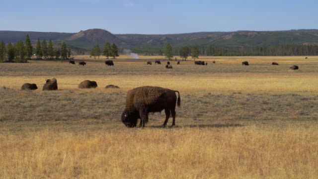 a herd of bison grazes on a wide, grassy meadow in yellowstone national park. - 野牛点の映像素材/bロール
