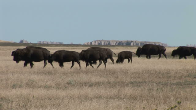 herd of bison grazing in badlands national park south dakota united states - badlands national park video stock e b–roll