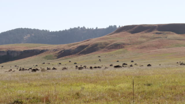 ws pan herd of bison grazing in grassy landscape / custer state park, south dakota, united states - custer staatspark stock-videos und b-roll-filmmaterial