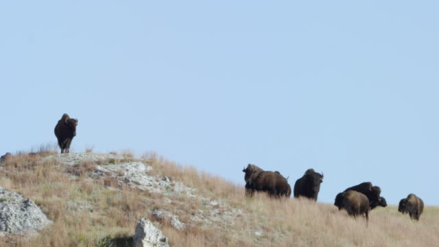 ws herd of bison grazing in grassy landscape / custer state park, south dakota, united states - カスター州立公園点の映像素材/bロール