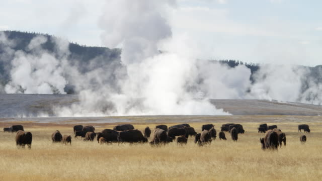 ws herd of bison grazing on grassy land with steam of geyser in background / yellowstone national park, wyoming, united states - american bison stock videos & royalty-free footage