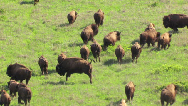 WS AERIAL TS Herd of bison running in prairie at tallgrass prairie preserve / Oklahoma, United States