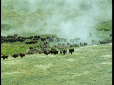 herd of bison stampedes over grassland, montana - bbc stock videos and b-roll footage