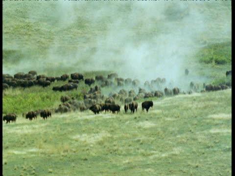 herd of bison stampedes over grassland, montana - amerikanischer bison stock-videos und b-roll-filmmaterial