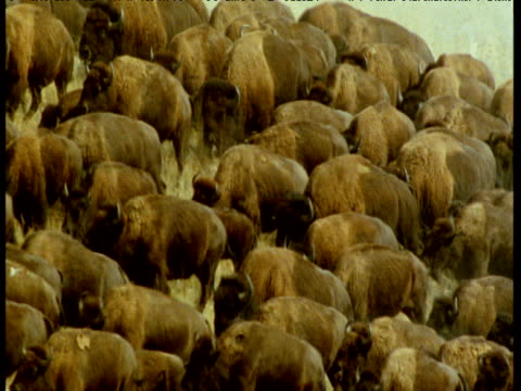 herd of bison stampedes over grassland, montana - american bison stock videos & royalty-free footage