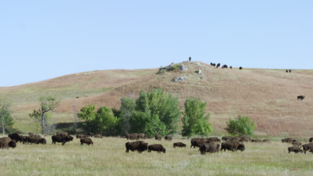 ws herd of bison walking and grazing in grassy landscape / custer state park, south dakota, united states - カスター州立公園点の映像素材/bロール
