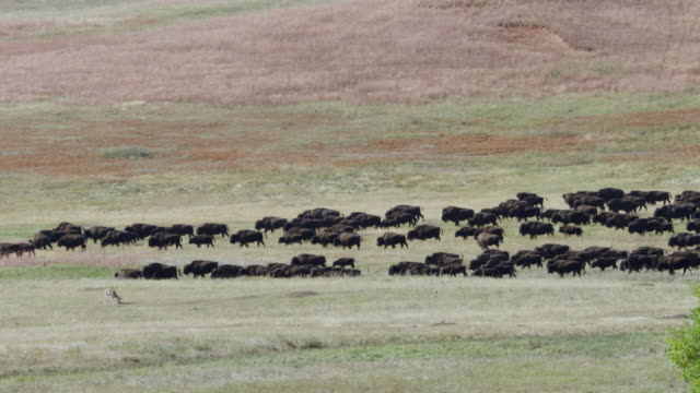 ws herd of bison walking and grazing in grassy landscape / custer state park, south dakota, united states - american bison stock videos & royalty-free footage