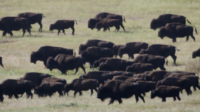 ms herd of bison walking in grassy landscape / custer state park, south dakota, united states - custer state park stock videos & royalty-free footage