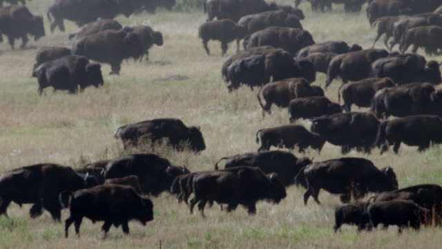 ms herd of bison walking in grassy landscape / custer state park, south dakota, united states - custer staatspark stock-videos und b-roll-filmmaterial