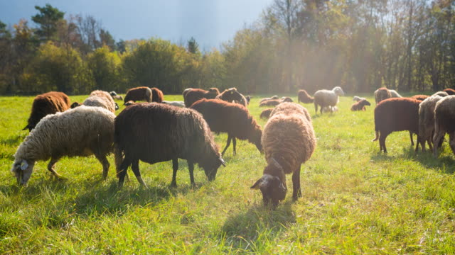 Herd of black and white sheep feeding on grass