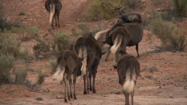 a herd of black wildebeests cross the karoo of south africa. available in hd. - karoo video stock e b–roll