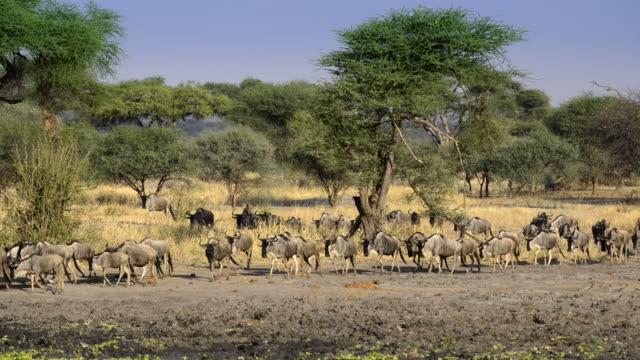 herd of blue wildebeest coming to waterhole