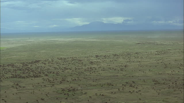 AERIAL, WS, ZI, herd of Blue Wildebeest (Connochaetes taurinus) migrating through savannah, Serengeti National Park, Tanzania