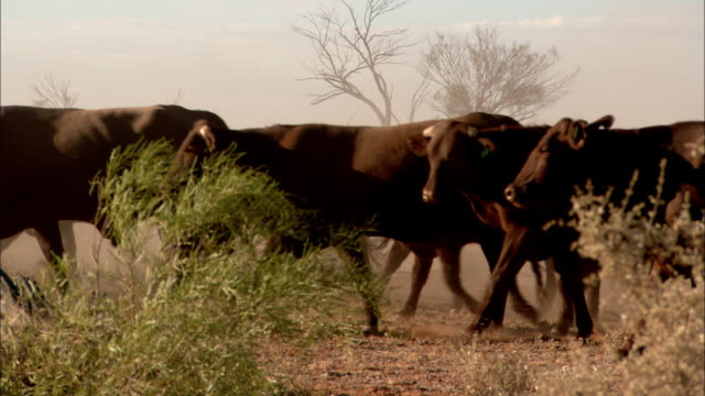 MS Herd of brown cattle walk along dirt land in Australian Outback, Anna Creek, South Australia, Australia