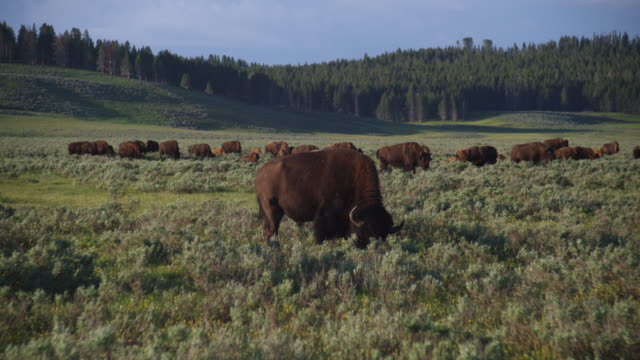 vídeos de stock e filmes b-roll de a herd of buffalo graze in hayden valley in yellowstone national park, wyoming. - bisonte americano
