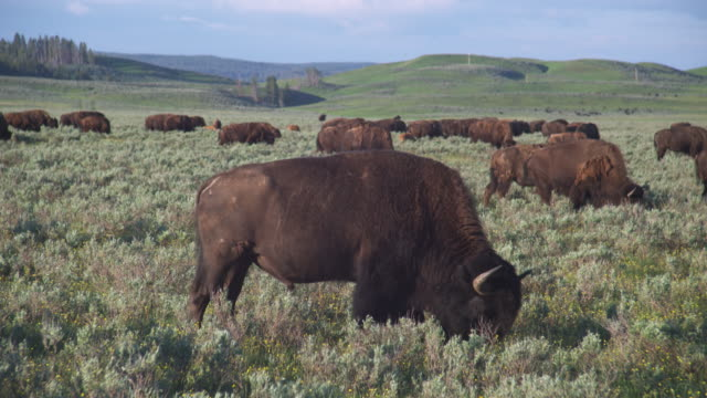 stockvideo's en b-roll-footage met a herd of buffalo graze in hayden valley in yellowstone national park, wyoming. - yellowstone national park