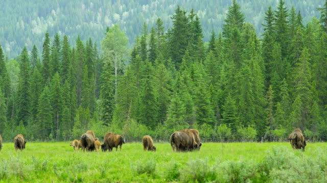 herd of buffalo grazing with calf north america - yellowstone national park stock videos & royalty-free footage