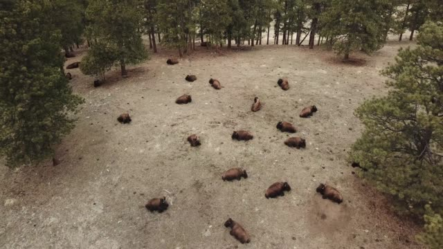 herd of buffalo taking a nap on a hill - wild cattle stock videos & royalty-free footage