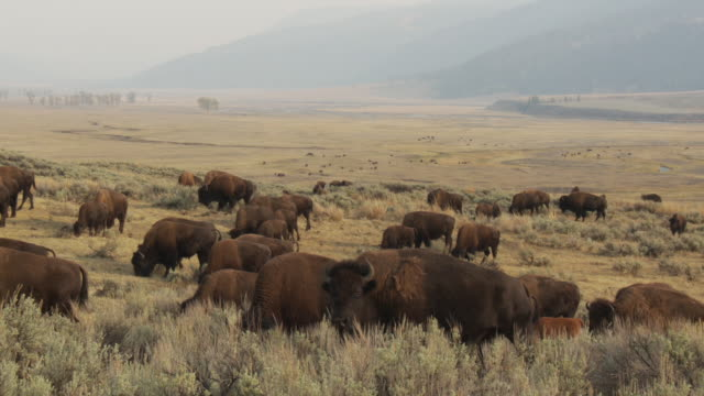 stockvideo's en b-roll-footage met a herd of buffalo walks through lamar valley. - yellowstone national park