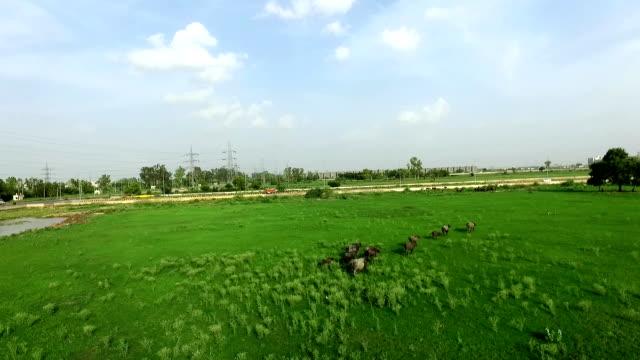 stockvideo's en b-roll-footage met kudde buffels - great plains