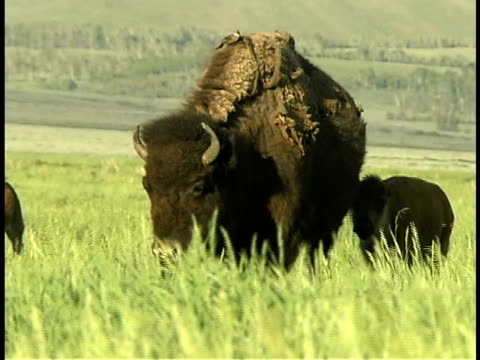 cu, pan herd of buffalos with calves in grassland, grand teton national park, wyoming, usa - piccolo gruppo di animali video stock e b–roll