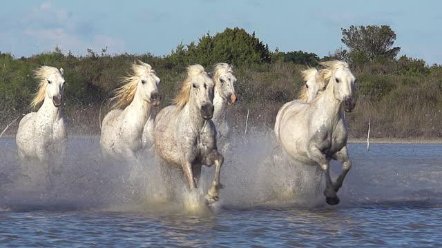 vídeos y material grabado en eventos de stock de ms slo mo herd of camargue horse galloping through swamp / saintes marie de la mer, camargue, france - manada