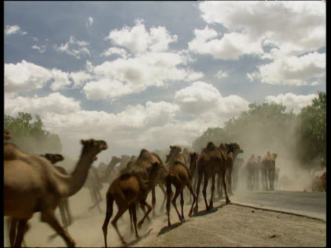 Herd of camels crossing dusty road away from camera