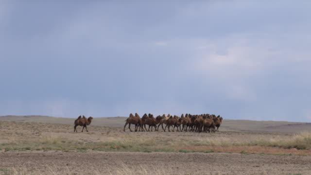 a herd of camels in outer mongolia's gobi desert - tier rücken stock-videos und b-roll-filmmaterial