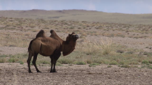 a herd of camels in outer mongolia's gobi desert - camel stock videos & royalty-free footage