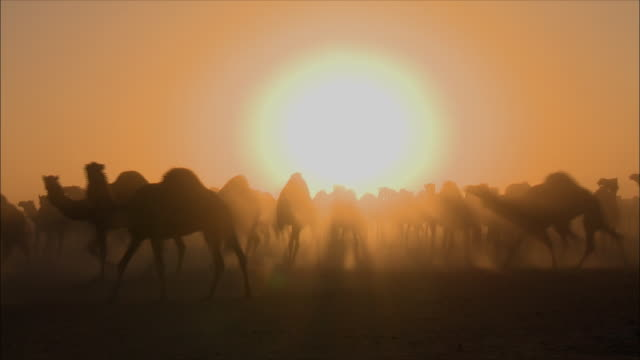 herd of camels - saudi arabia - saudi arabia stock videos & royalty-free footage