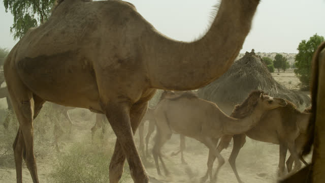 herd of camels walk past hut, india. - shack stock videos & royalty-free footage