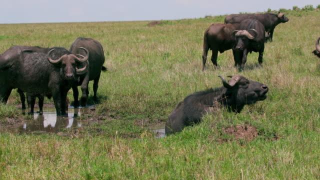 vidéos et rushes de herd of cape buffalo at rain pool maasai mara, kenya, africa - plan d'eau