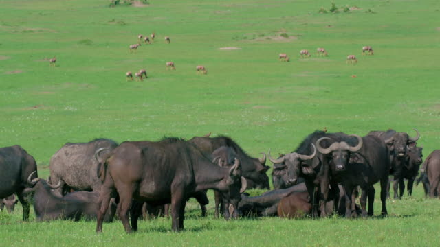 herd of cape buffalo grazing maasai mara, kenya, africa - アフリカンバッファロー点の映像素材/bロール
