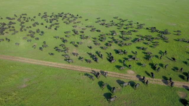 vídeos de stock, filmes e b-roll de herd of cape buffalo, masai mara, kenya, africa - búfalo africano