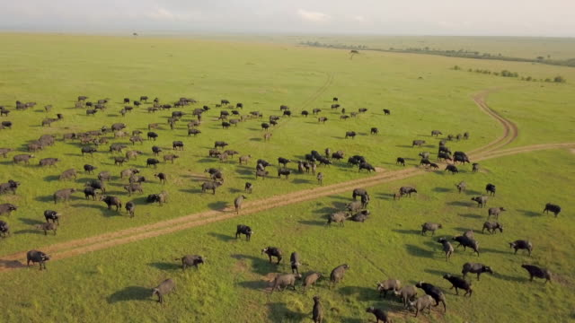 herd of cape buffalo, masai mara, kenya, africa - 自然保護区点の映像素材/bロール