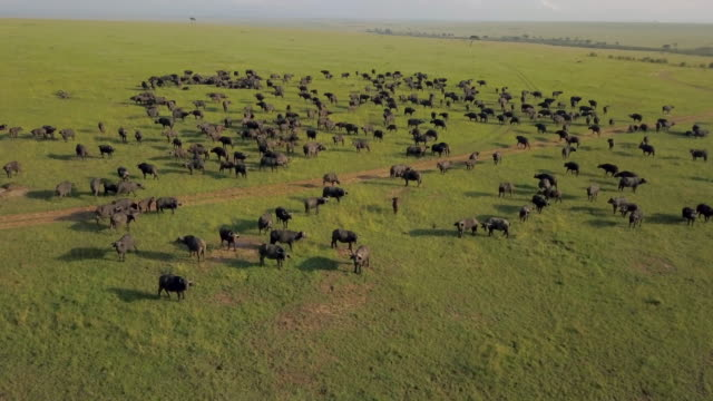 herd of cape buffalo, masai mara, kenya, africa - gehörn stock-videos und b-roll-filmmaterial