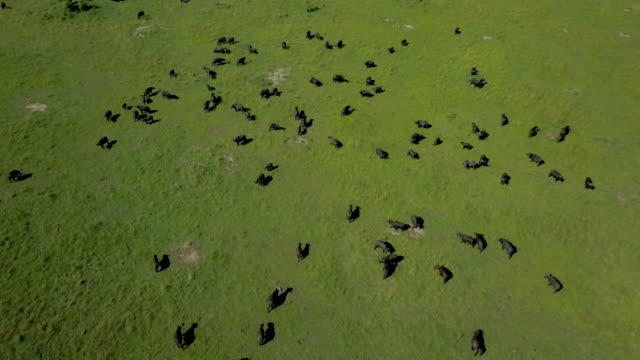 herd of cape buffalo, masai mara, kenya, africa - wild cattle stock videos & royalty-free footage