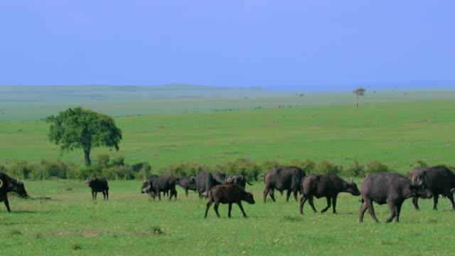 herd of cape buffalo walking maasai mara, kenya, africa - ケニア点の映像素材/bロール