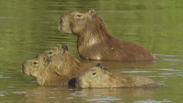 Herd of Capybara (Hydrochoerus hydrochaeris) stand in river.