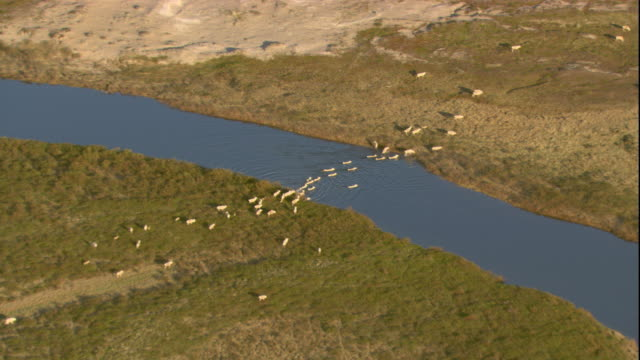 a herd of caribou crosses a river as it migrates across the tundra. available in hd. - river stock videos & royalty-free footage