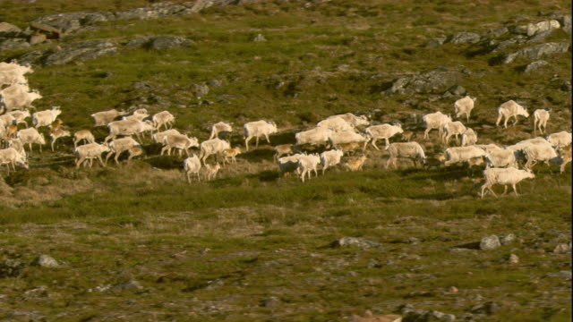 vidéos et rushes de a herd of caribou crosses the tundra. available in hd. - troupeau