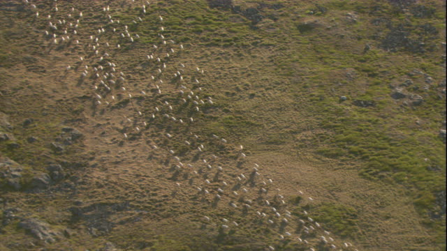 vidéos et rushes de a herd of caribou crosses the tundra. available in hd. - caribou