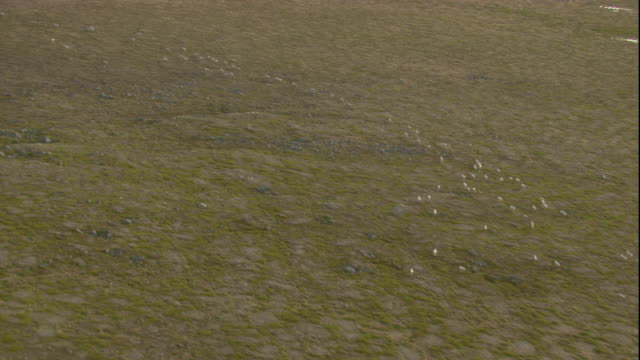 vidéos et rushes de a herd of caribou migrates across canada's tundra. available in hd. - caribou