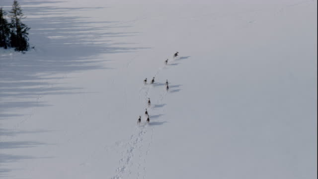 vidéos et rushes de a herd of caribou run across a frozen inlet, canada. available in hd. - caribou