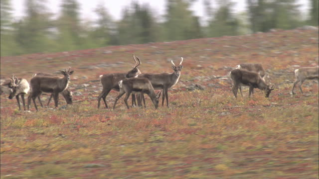 vidéos et rushes de herd of caribous eating grass in the north pole tundra - caribou