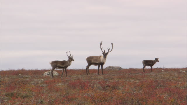 vidéos et rushes de herd of caribous looking around in the north pole tundra - caribou