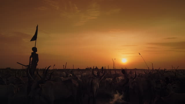 herd of cattle at dinka cattle camp in the evening / sudd swamps, south sudan, africa - placca di montaggio fissa video stock e b–roll