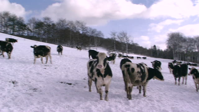 A Herd Of Cattle At Snow-covered Ranch